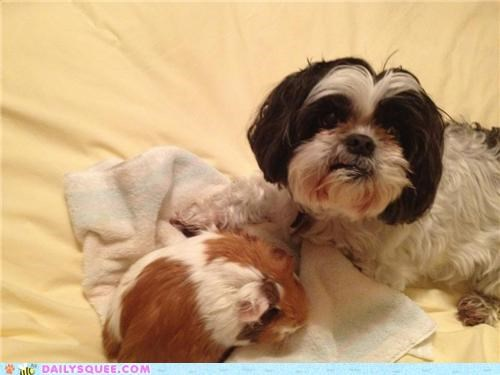 best friends,BFFs,cuddling,dogs,guinea pig,Interspecies Love,reader squees