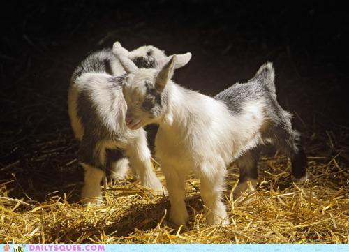 adorable Babies baby calf calfs fluff goat goats gruff lovable parody rhyming - 5337280000