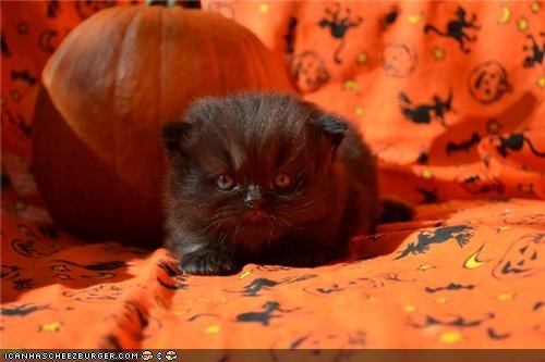 bad luck,black cats,cyoot kitteh of teh day,fabric,halloween,meowloween,pumpkins,tiny