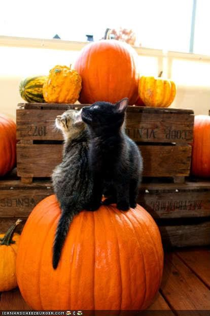 cyoot kitteh of teh day,friends,halloween,meowloween,pals,pumpkins,two cats