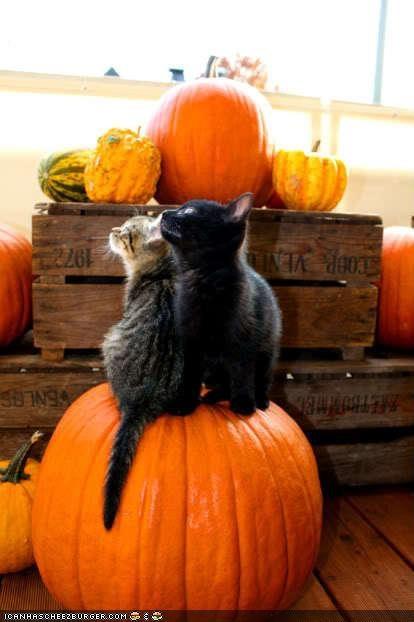 cyoot kitteh of teh day friends halloween meowloween pals pumpkins two cats - 5337355776