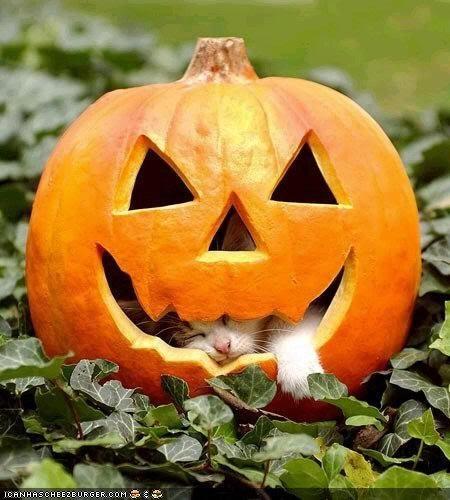 cyoot kitteh of teh day halloween inside jack o lanterns meowloween outside pumpkins sleeping smile - 5337360640