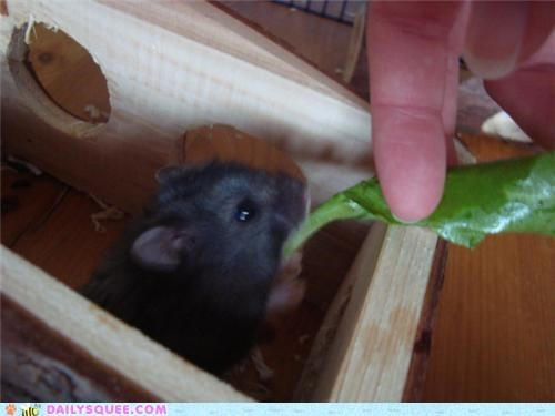 chubby dwarf hamster fat hamster nomming noms plump pun reader squees - 5340331776