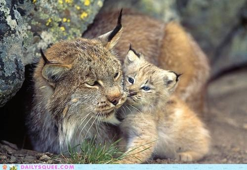 baby,cub,lynx,lynxes,missing link,mother,nothing,pun,snuggling