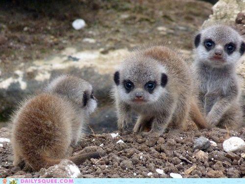Babies baby Hall of Fame homophone language lexicon lolwut meerkat Meerkats mere prefix ranting - 5341572864