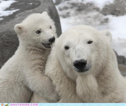 baby bear bears biting cub ear gnawing mother polar bear polar bears - 5341587968