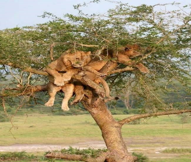 animals taking naps in trees