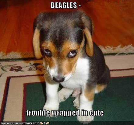 adorbz beagle cute puppy puppy dog eyes trouble - 5350921984