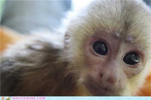 adorable baby capuchin capuchin monkey contest eyes monkey squee spree Staring tiny winner