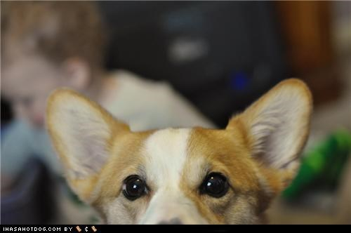corgi cute ears eyes goggie ob teh week peek peeking - 5351909120