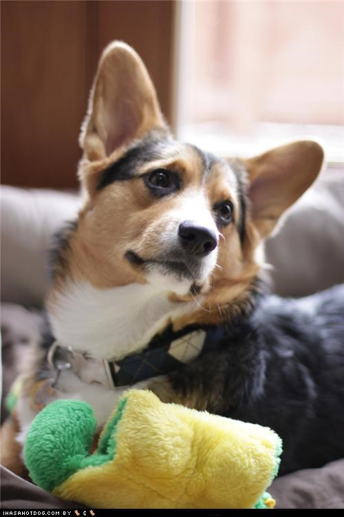 adorbz corgi cute goggie ob teh week handsome - 5351936256