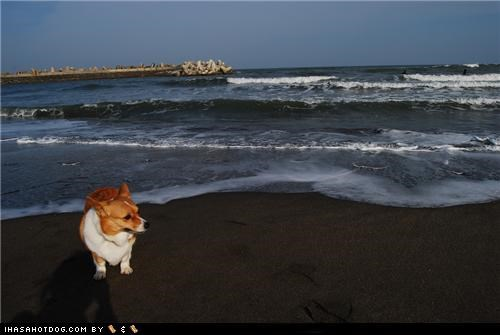 beach corgi cute goggie ob teh week happy ocean sand - 5351951104
