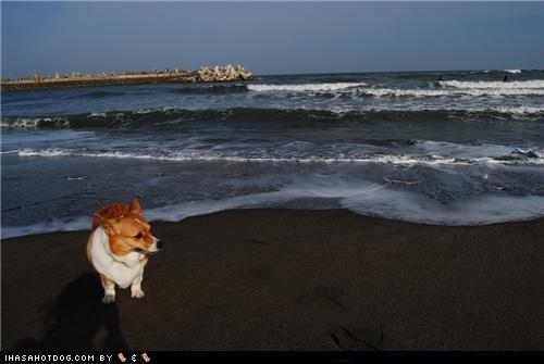 beach corgi cute goggie ob teh week happy ocean sand - 5351951104