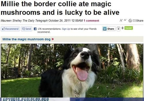border collie,crunk critters,drugs,happy,magic,Mushrooms