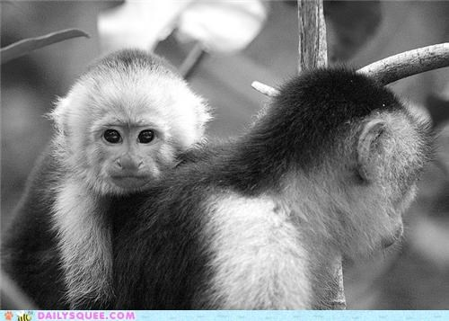 baby capuchin capuchin monkey capuchins carrying monkey monkeys monorail mother ride riding squee spree