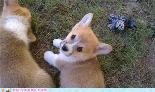 baby,corgi,homecoming,puppy,reader squees,SOON