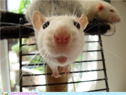 attitude cheeky close up loving naughty rat reader squees - 5355598592