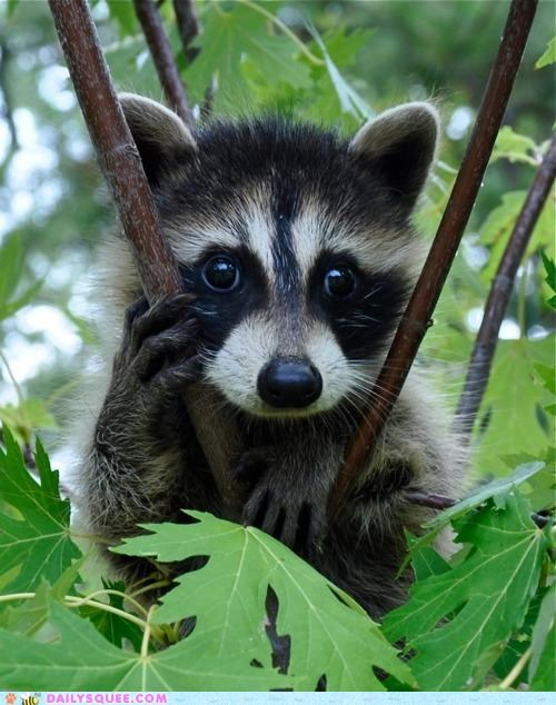 baby begging entreaty hakuna matata Hall of Fame pun puppy eyes raccoon request Staring