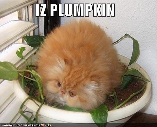 caption captioned cat color imitation meowloween orange persian plump pumpkins pun - 5358494208