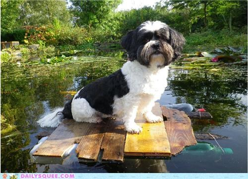 dogs,floating,koi,lhasa apso,pond,puppy,raft,reader squees,sailing,sailor,Staring