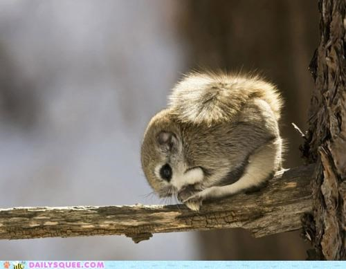 ball curled curled up favorite flying squirrel siberian flying squirrel squirrel