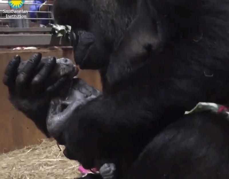 twitter zoo cute tweets baby gorilla gorilla - 5361669