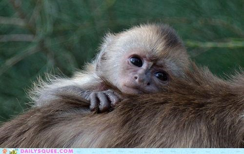 baby,birth,capuchin,capuchin monkey,heartwarming,monkey,monkeys,mother,squee spree,success,weeper capuchin