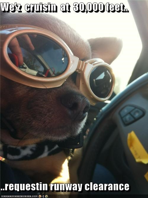 airplane chihuahua flying glasses goggles landing