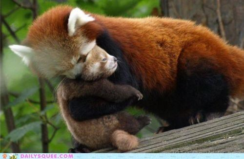 baby carrying cub Hall of Fame mother red panda red pandas - 5369755392