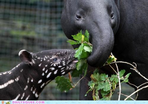 attempting,baby,bad idea,food,mother,noms,sharing,stealing,tapir,tapirs,tugging