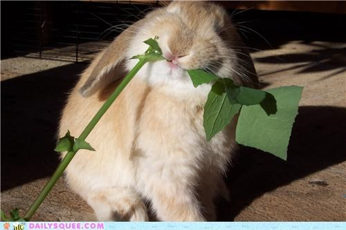 bunny dandelion dandelions favorite finding Hall of Fame happy bunday nomming noms rabbit reader squees searching trained - 5370209792