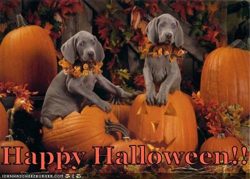 halloween halloween 2011 howl-o-ween pumkins puppies puppy weimaraner weimaraners - 5374478848