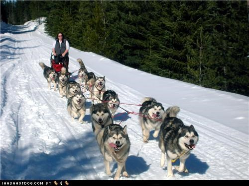excited goggie ob teh week malamute mush outdoors running sled dogs snow - 5378705920