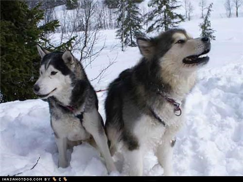 adorbs,friends,friendship,goggie ob teh week,malamute,outdoors,snow