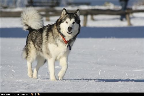 come along,goggie ob teh week,malamute,outdoors,play,playing,snow