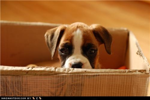 box,boxer,cute puppy,cyoot puppeh ob teh day,peek a boo,puppy