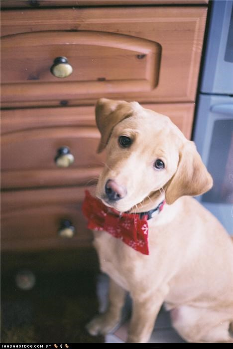 bowtie,cyoot puppeh ob teh day,golden retriever,puppy dog eyes,retriever