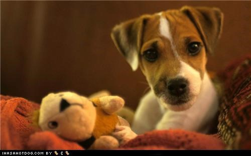 cyoot puppeh ob teh day huh jack russell terrier parson russell terrier puppy toy wat what - 5379005952