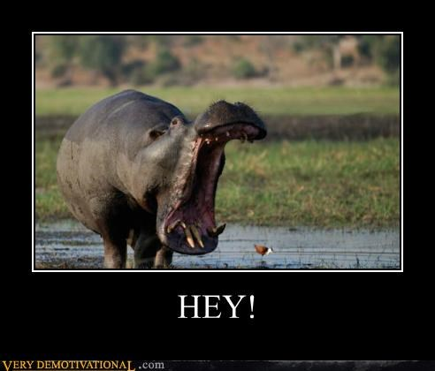 Hey hilarious hippo yelling