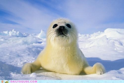 adorable,baby,harp seal,newborn,proof,pup,seal,squee spree,unbearably squee