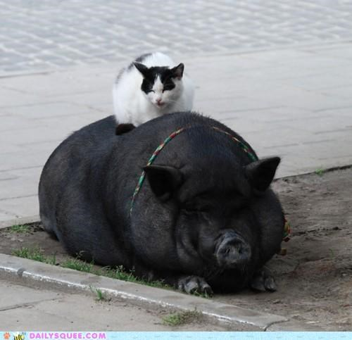 cat,cuddling,friends,friendship,hog,Interspecies Love,perching,pig,pun,sitting
