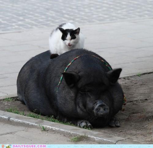 cat cuddling friends friendship hog Interspecies Love perching pig pun sitting - 5380322816