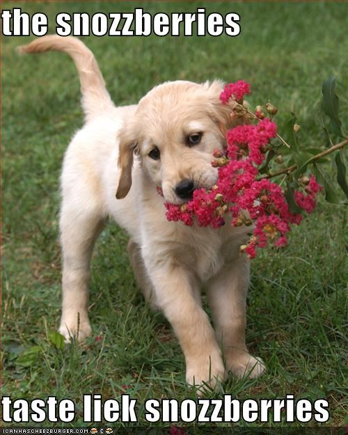 berries berry best of the week candy fruit golden retriever Hall of Fame outdoors play playing puppy snozberries Snozzberries Willy Wonka