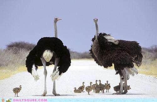 Babies baby crossing family ostrich ostriches parents road unbearably squee walking - 5384870912