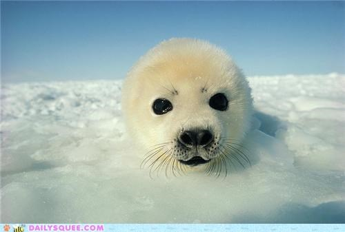baby comparison Hall of Fame harp seal peekaboo peeking pup seal squee spree - 5386364160