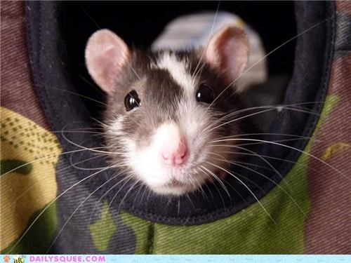 funny rat reader squees smiling - 5386579968