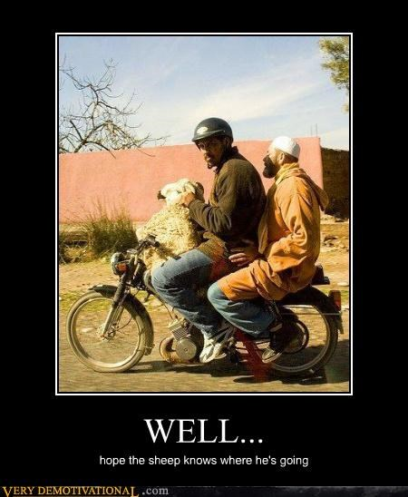 animals,hilarious,motorcycle,sheep,wtf