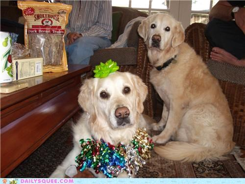 christmas dogs golden retriever golden retrievers november opening present presents reader squees