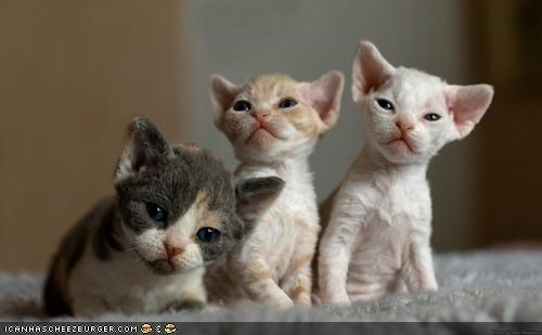 cyoot kitteh of teh day,soft,three cats,tiny,trio,triumvirate