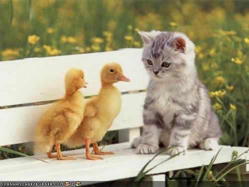 birds,cyoot kitteh of teh day,ducklings,ducks,Interspecies Love,spring